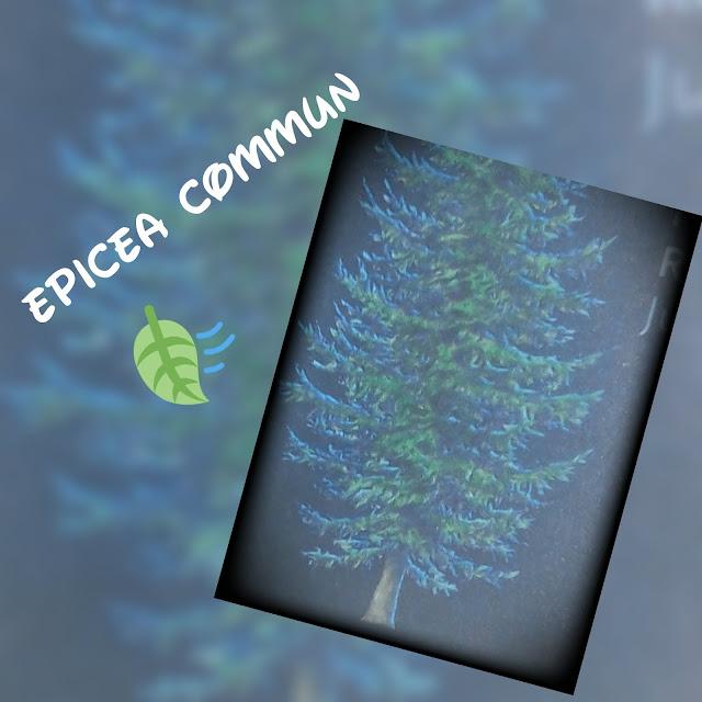 EPICEA COMMUN