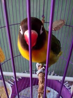 Cara Merawat Lovebird Buat Kontes Agar Ngekek Panjang