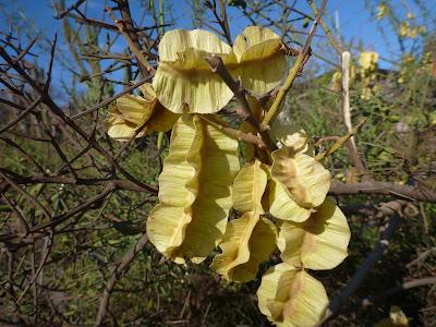 Piscidia carthagenensis