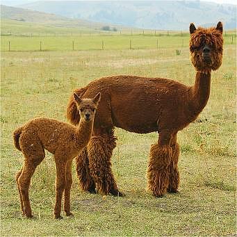 alpaca overview the joy of raising crias