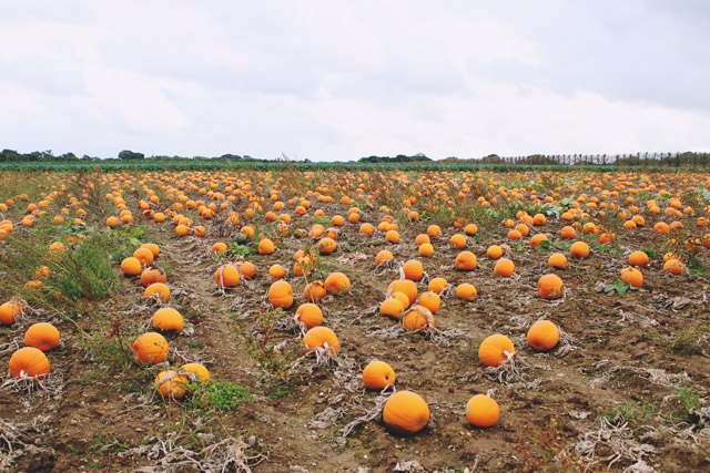 Pickwell Farm Pumpkins