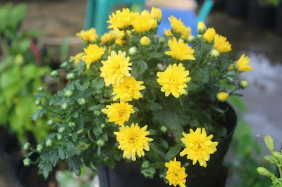 Bunga Krisan (Rumah Bunga Neisha)