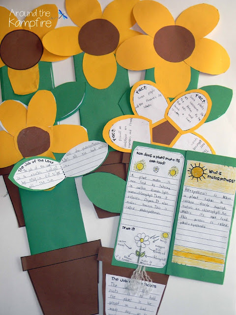 Life cycle of plants culminating project~ foldable sunflower booklets