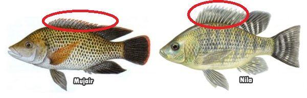 Gambar Perbedaan Ikan Nila Dan Mujair Pada Sirip Dorsal Depan