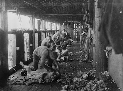 Sheep shearing at Yandilla Station, ca. 1894