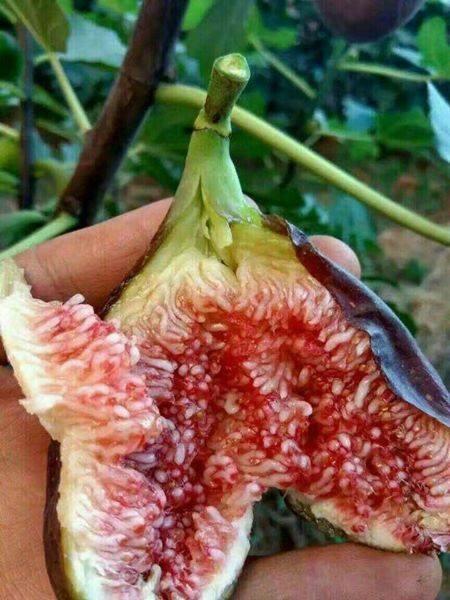 Đặc điểm để trồng hiệu qủa cây sung Mỹ