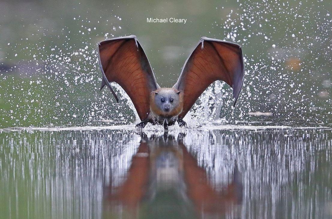 michael cleary grey headed flying fox fruit bat megabat