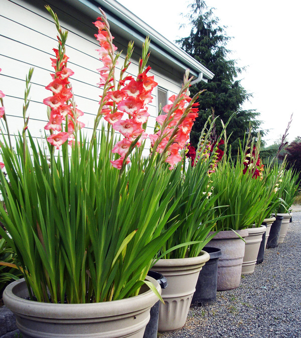 B&D Lilies Garden Blog: Winter Care Of Potted Lily Bulbs