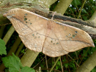 Copaxa knorkei female