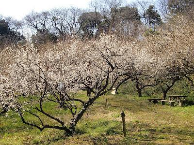 十二所果樹園の梅