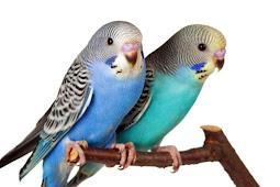 Perawatan Parkit Agar Gacor Untuk Masteran Burung