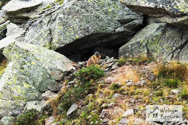 świstak w Alpach