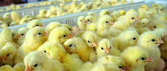 Peternak Ayam Ras Diminta Tingkatkan Usaha