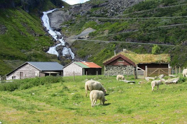 Noorwegen schapen op de weg tussen Vik en Voss