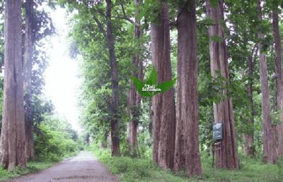 Pohon_Jati_Hutan_Alam