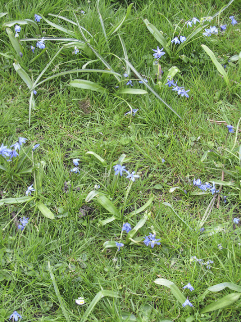blue forget-me-nots in the grass