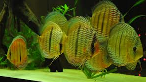 ikan hias air tawar terindah aquarium air tawar
