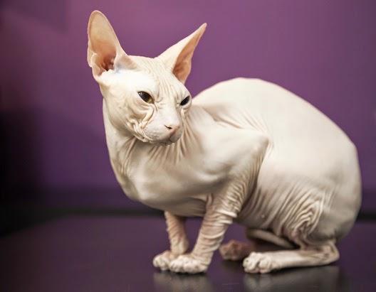 Jeden Z Najmniejszych Dzikich Kotów świata Wykoppl