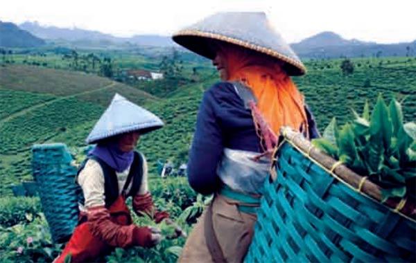 perempuan memetik pucuk daun teh