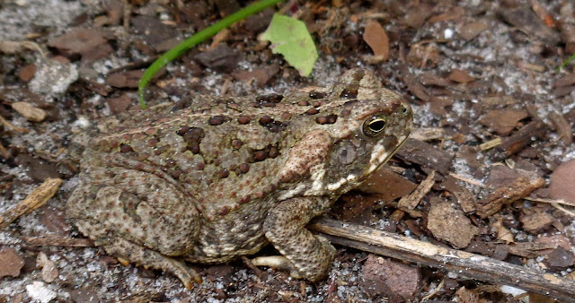 Bufo toad blending into its surroundings
