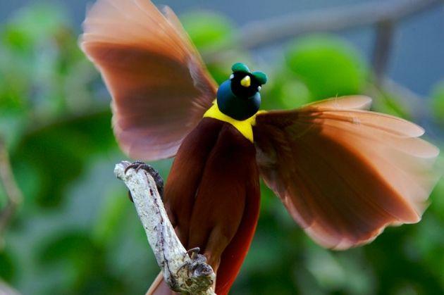 Mengenal Burung Cenderawasih Merah dari Papua