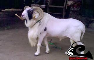 Panduan Berternak Domba Garut Yang Menguntungkan