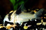Jenis Ikan Corydoras melanistius