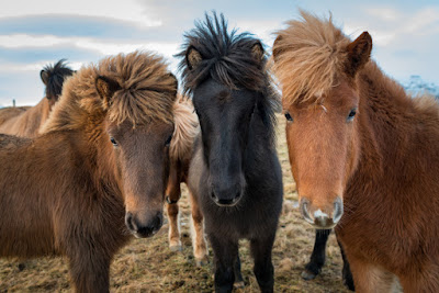 Icelandic horses have two different breeds