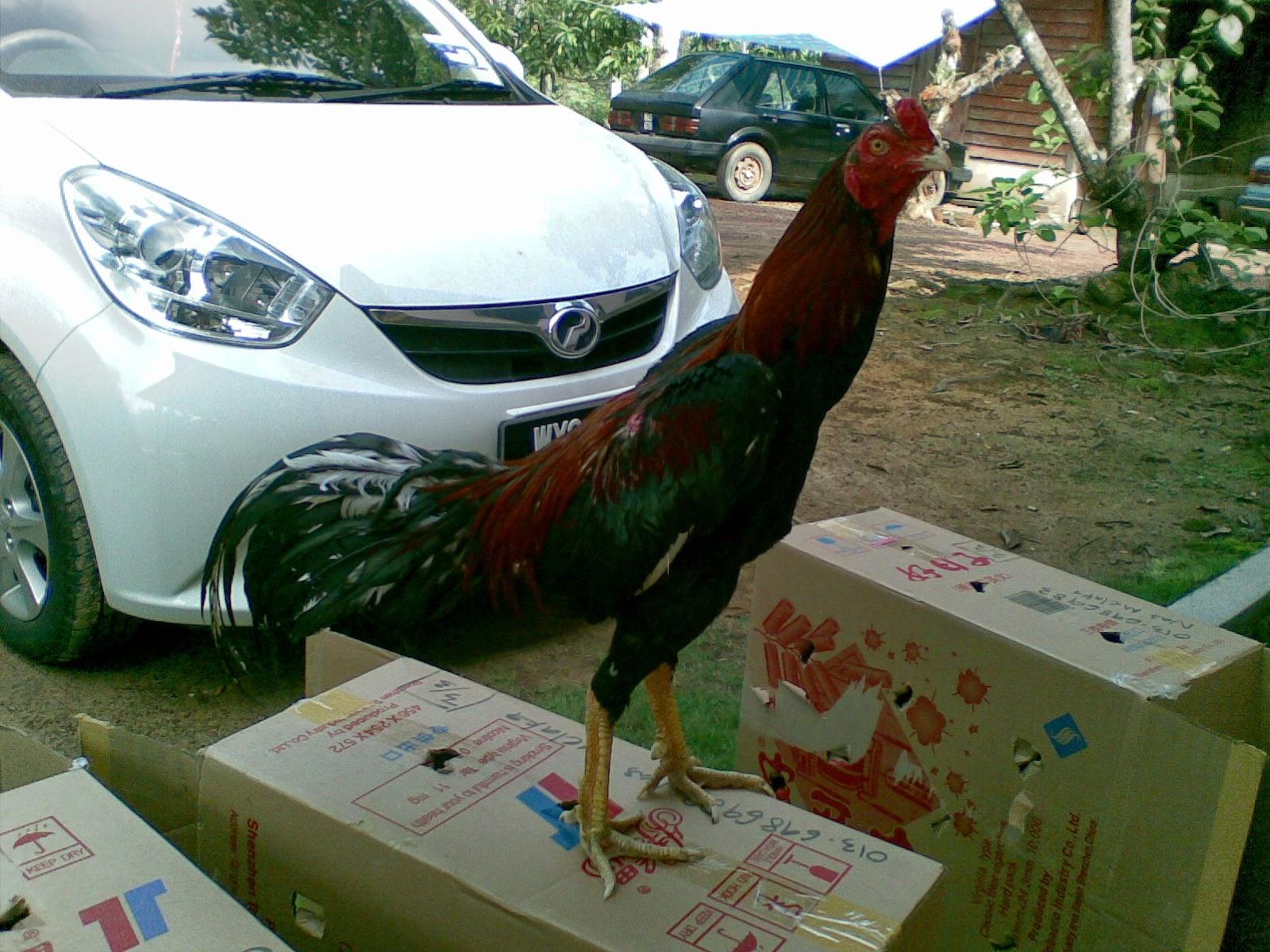 Ayam Siam Ayam Sabung