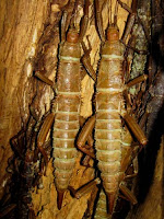 Toronto Zoo Insects. (Thorny Devil Stick Insect)