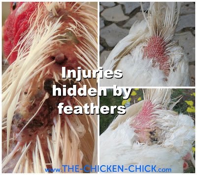Skin injuries and other abnormalities can be well hidden by feathers. Part feathers all over the chicken's body to inspect the skin, which should be free from mites, lice, lacerations, lumps, injuries from roosters' nails during mating, fly larvae/maggots, etc.