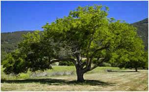 ceviz ağacı ile ilgili görsel sonucu