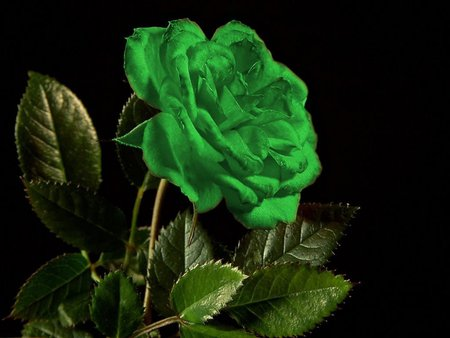 Allinallwalls Most Beautiful Green Roses In The World