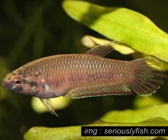 Jenis Ikan Cupang Spesies Betta Dennisyongi