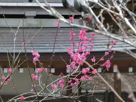 浄智寺の梅