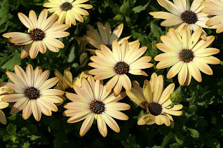 Dimorphoteca ecklonis 'Side Show Copper Yellow' - Osteospermum ecklonis 'Side Show Copper Yellow'