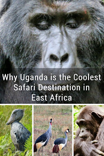 Why Uganda is the Coolest Safari Destination in East Africa: mountain gorillas, chimpanzees, shoebills, and 1000+ species of birds