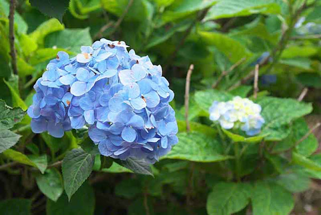flowers, hydrangea, gardens