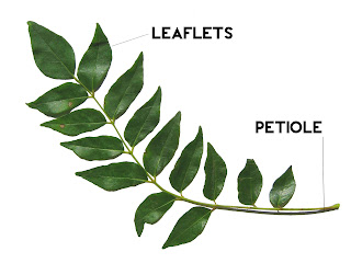 Leaflet and petiole