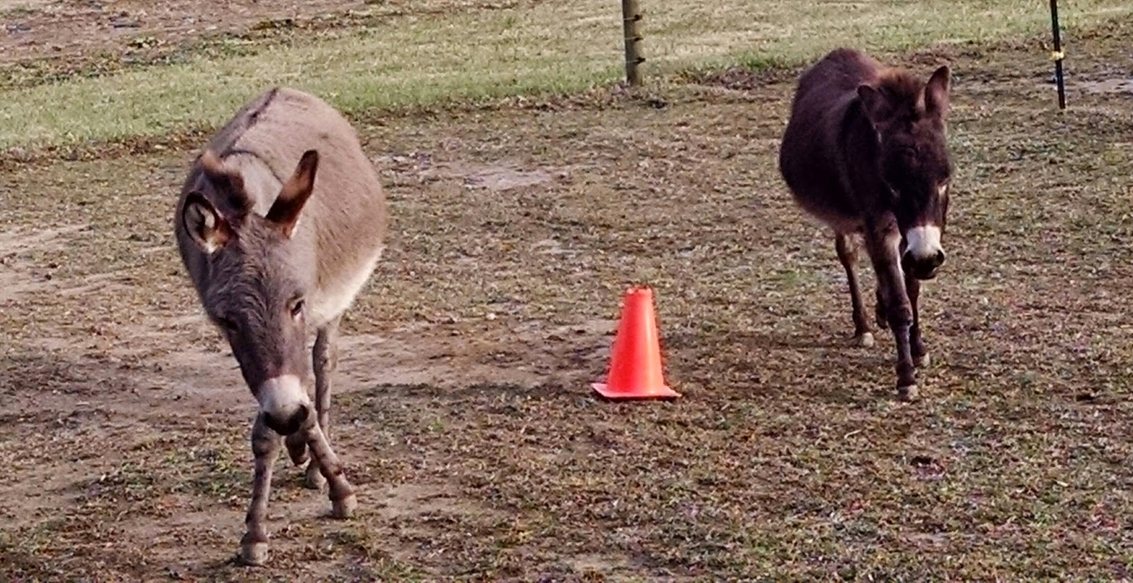 two miniature donkeys playing with traffic cones