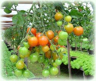 Silício Pode Substituir Inseticidas em Tomate