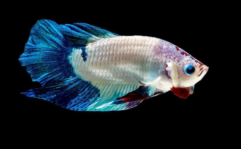 Cara Memilih Ikan Cupang Yang Bagus