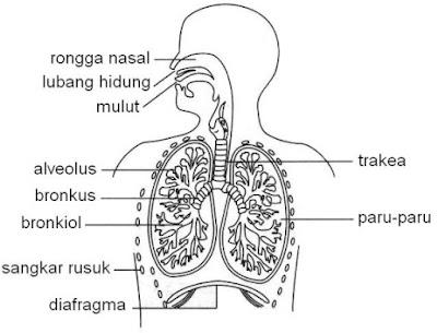 sistem pernapasan manusia