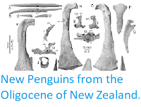 http://sciencythoughts.blogspot.co.uk/2012/03/new-penguins-from-oligocene-of-new.html