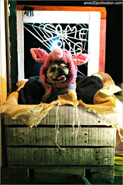 Perro Disfrazado por Halloween en Beacon Hill, Boston