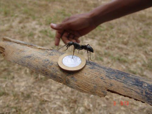 Resultado de imagem para Formiga-cabo-verde