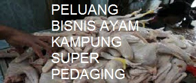 Peluang Usaha Sampingan Ternak Ayam Jawa Super Pedaging di Rumah