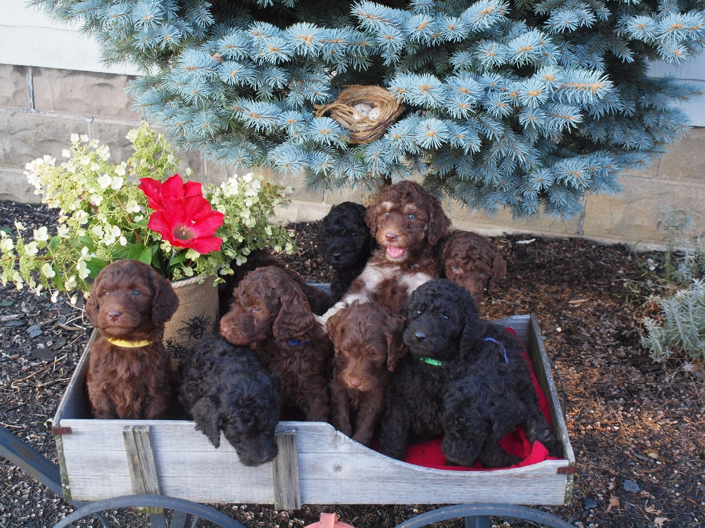 Manns Best Friend ~ AKC Poodles CKC Multi-Generational Labradoodles