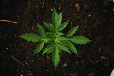 Aseguran planta de mariguana en casa abandonada en la colonia Paseo del Pedregal de Hermosillo