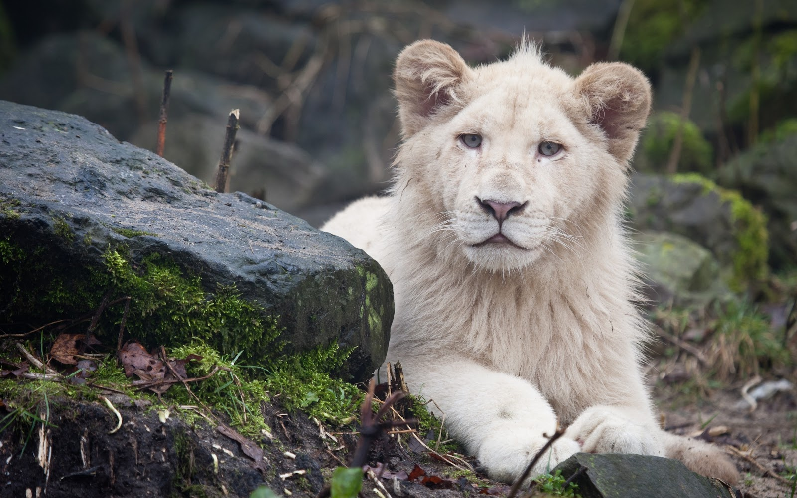 Lion Full HD 1080p Wallpapers
